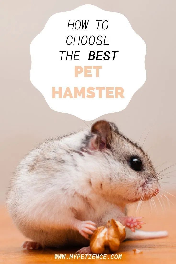 Pin by Eva on Home Small pets, Animals, Hamsters as pets