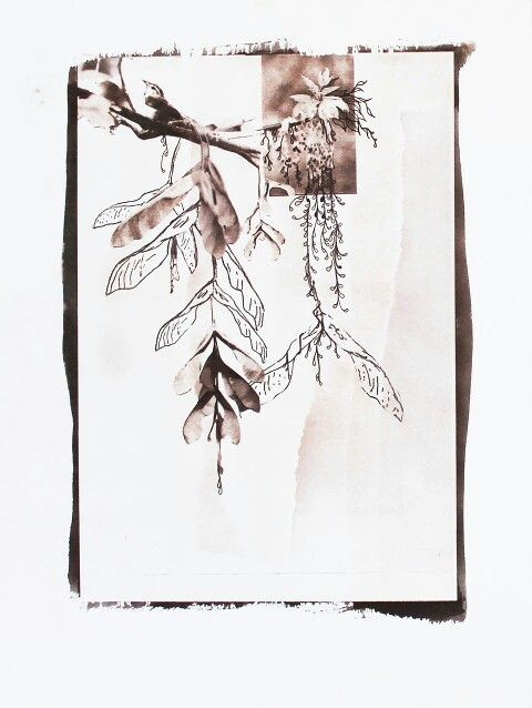 """from """"Acer Negundo"""" series, 2013- kallitype (chloe obermeyer)"""