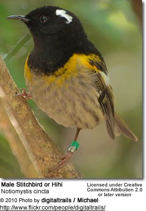 Stitchbird male: a rare Honeyeater-like bird endemic to the North Island and adjacent offshore islands of New Zealand