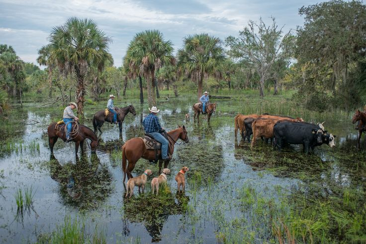 147 Best Images About Florida Cowhunters On Pinterest Open Range Polos And Cattle