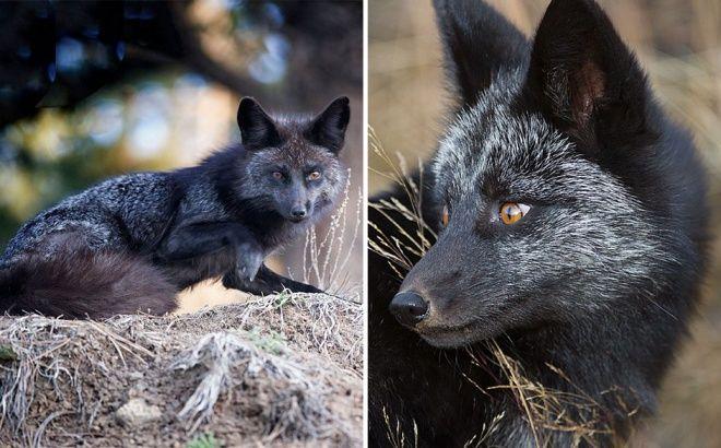 Elképesztő fotók készültek ritka fekete rókákról - NetGazdi