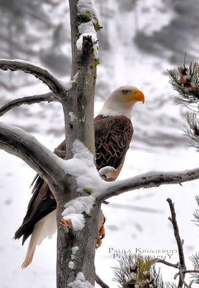 Beautiful bald eagle in the snow