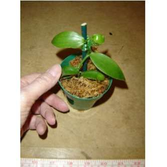 "Tropical Plants For Sale | Baby Vanilla Orchid - 3"" Pot  $8.99"