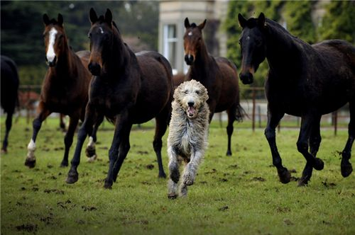 Happiest wolfie ever?  Irish Wolfhound and polo ponies at Errol Park.  Lovely.