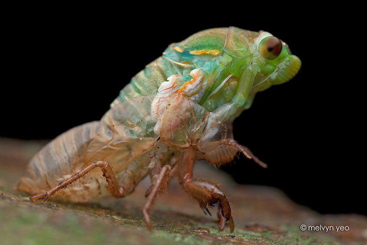 Moulting Cicada