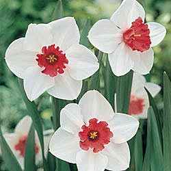 Perfect Lady Daffodil Brecks USA