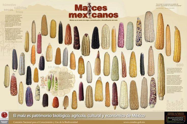 Maíz Mexicano