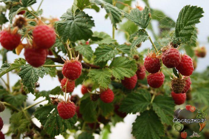 Малина многолетнее растение, но фишка в том, что плодоносят только двухлетние побеги. Так, что удаляя ВСЮ поросль, на третий год урожая не будет вообще.... - Сад огород - Google+