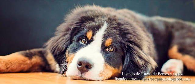 Imagen de cachorro de Boyero de Berna acostado. Características de la cara de Perro de Montaña Bernés. Razas de perros (Image of a Berner Sennenhund puppy. Dog breeds).