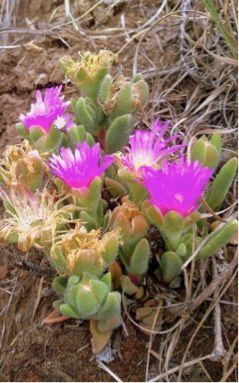 Delosperma lavisiae. Plants found in the Clarens Village Nature Reserve Delosperma lavisiae