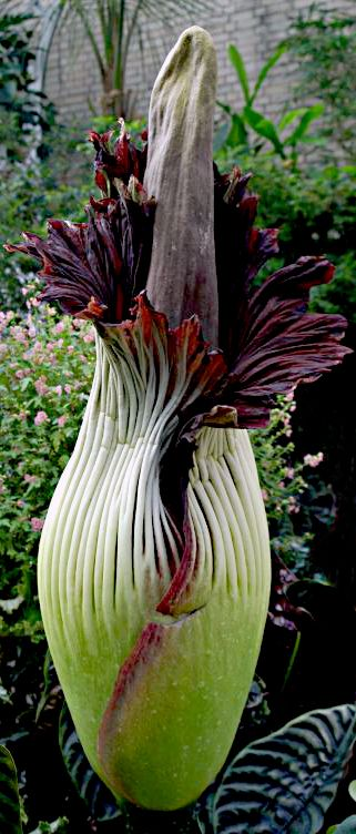 "another stinker, yet strangely beautiful. Due to its fragrance, which is reminiscent of the smell of a decomposing mammal, the Titan arum is also known as the ""Corpse flower"" or ""Corpse plant"""
