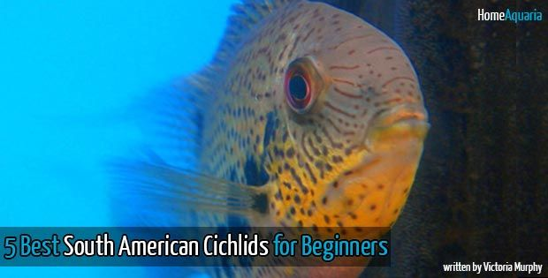 Confused by all the types of South American Cichlids you can keep? Here's a list of five of the best South American Cichlids to start with.