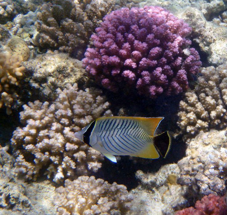 Chevron Butterflyfish