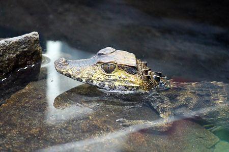 Baby crocodile Photo by Eva María Miranda — National Geographic Your Shot