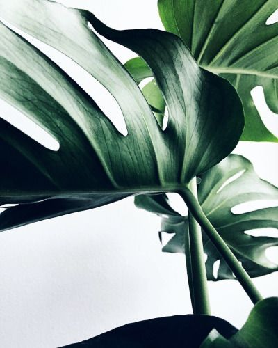 Monstera lover