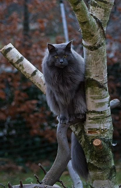 Nebelung cat - double coat of thick fur.. beautiful and mysterious