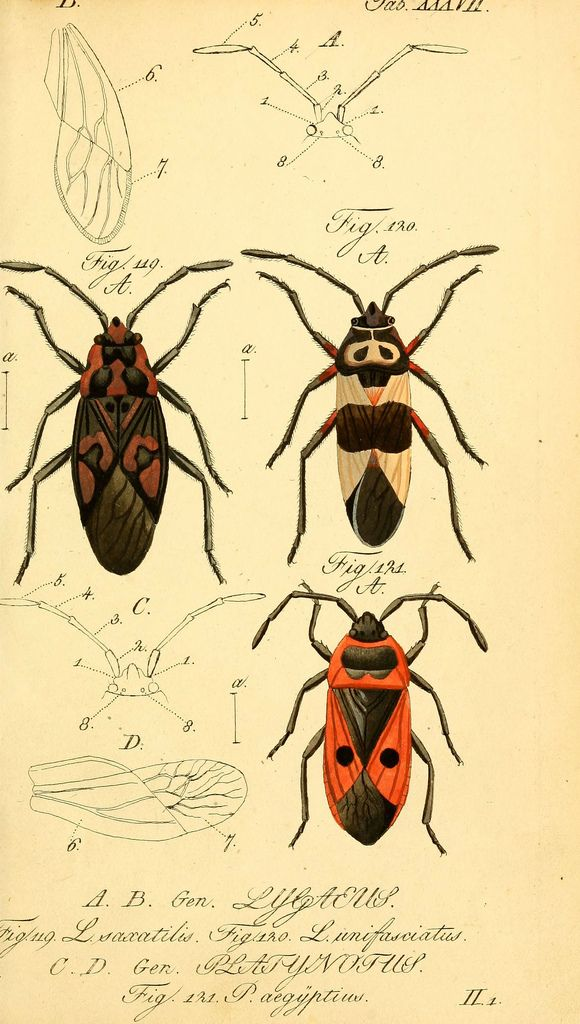 https://www.flickr.com/photos/biodivlibrary/6096549730/sizes/l