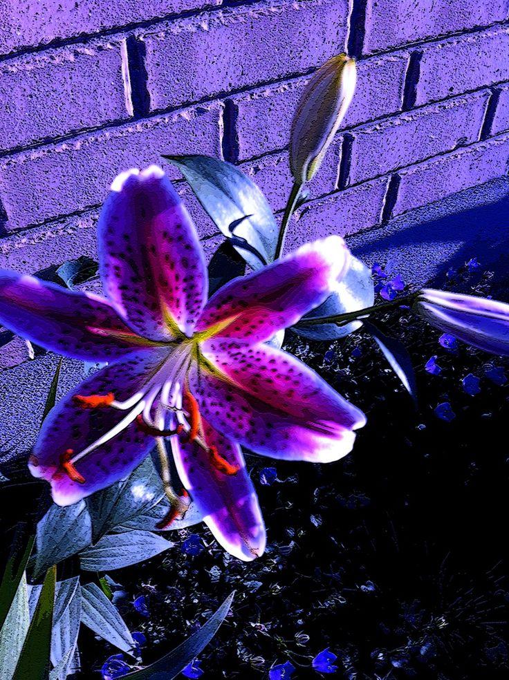 tiger lily | Purple Tiger Lilies Pink tiger lily