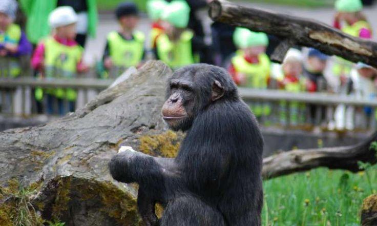 Un nuevo estudio de la Universidad de Lund (Suecia), publicado en la revista Primates, sugiere que los chimpancés son mucho mejor imitando a sus congéneres, ...