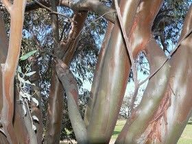 Salmon Gums E. salubris, native to southern inland Western Australia