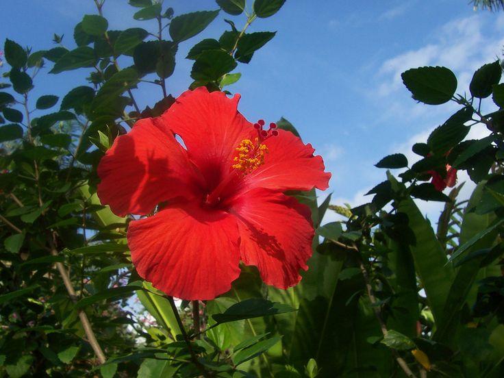 Hibiscus, or Bunga Pucuk Merah