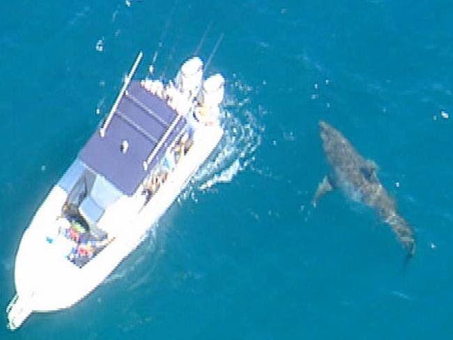 Big great white # australia # shark