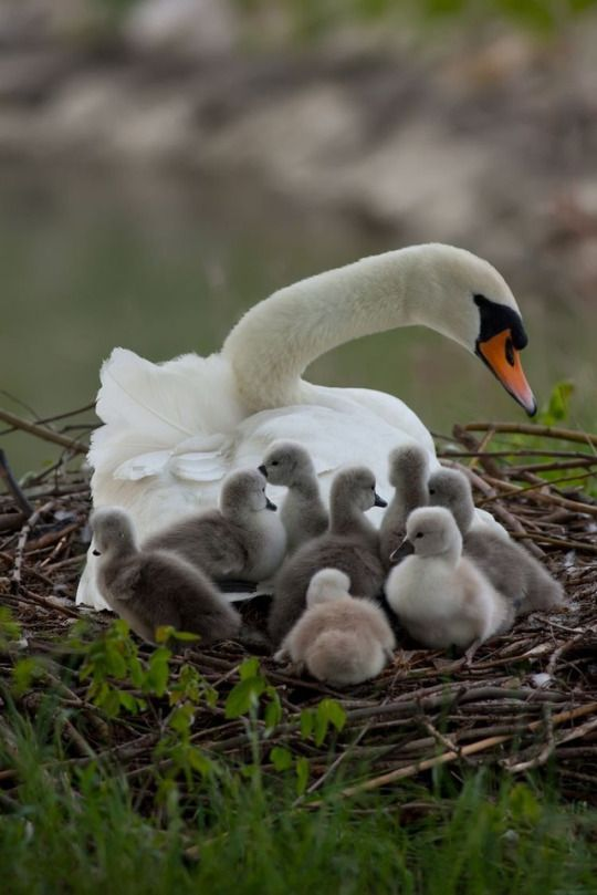 Gather 'round my swan babies.