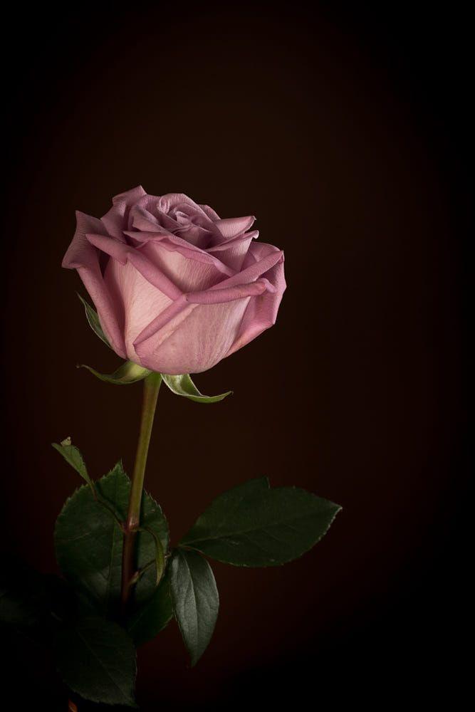 Single Pink Rose By Liz Barker On 500px Wallpaper Mawar Wallpaper Bunga Iphone Wallpaper Bunga Indah