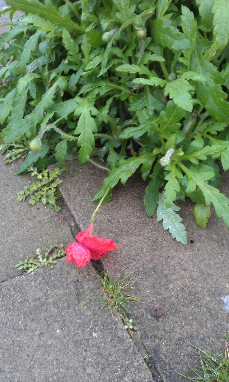 December 26: poppy (!)