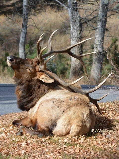Elk scratching his back with his antlers, Colorado - photo by B N Sullivan