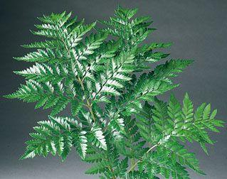 leatherleaf fern