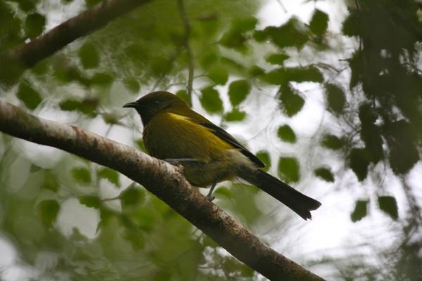 Our little songbird, the Bellbird/Korimako