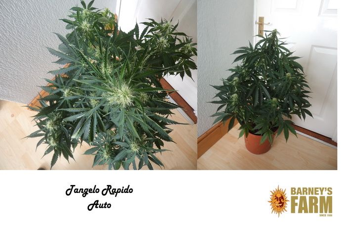 Tangelo Rapido Auto By Barney Farm Seeds, its an Autoflowering Marijuana Plant. Follow it growing at http://www.marijuanaplant.xyz/blog/tangelo-rapido-auto-review-and-grow-journal