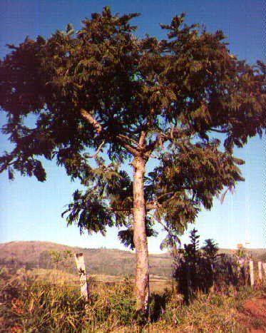 Brasil - Falso barbatimão Dimorphandra mollis