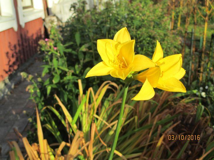 Lokakuun ihme. Päivänlilja kukkii. Kesää vielä jäljellä