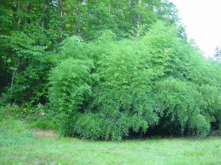 17 best images about bamboo on pinterest beijing sun. Black Bedroom Furniture Sets. Home Design Ideas