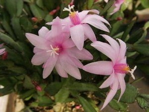 "Pink Easter Cactus - Rhipsalidopsis - 4"" Pot - Rare by Hirts: Cacti & Succulents. Save 20 Off!. $7.99. The plant you will receive is growing in a 4"" pot. Makes a great gift. Blooms in April. Proper name: Rhipsalidopsis gaertneri. Prefers a window location. Water when dry. It blooms once each year, in April (about Easter). The Easter Cactus grows best in a bright, indirect light window. Allow the soil to dry slightly between waterings. Normal house temperatures are fine. An easy to grow house…"
