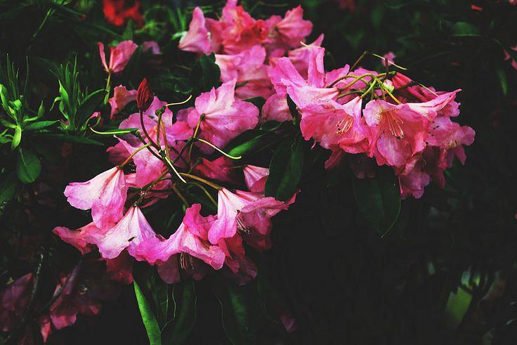 Azalea photo flower