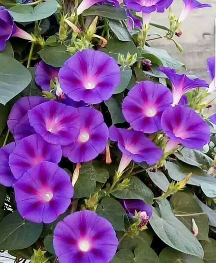 Pin By Ghada Yazbeck On Pictures Morning Glory Flowers Beautiful Flowers Flowers Nature