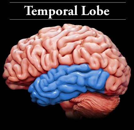 Temporal Lobes: The temporal lobes are located on the sides of the brain under the parietal lobes and behind the frontal lobes at about the level of the ears. They are responsible for: recognizing and processing sound; understanding and producing speech; and various aspects of memory. Damage to specific parts of the temporal lobe can result in: hearing loss; language problems; and sensory problems like the inability to recognize a familiar person's face.