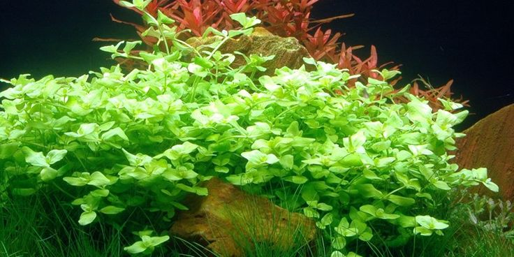 Bacopa australis - could be nice tucked into a notch of red moor