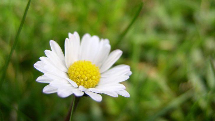 Léčivé sedmikrásky kvetou až do zimy