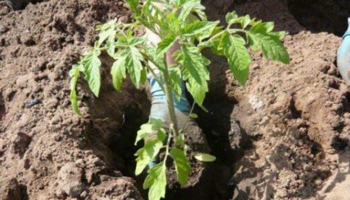 Что необходимо класть в лунку при посадке помидоров?   сад