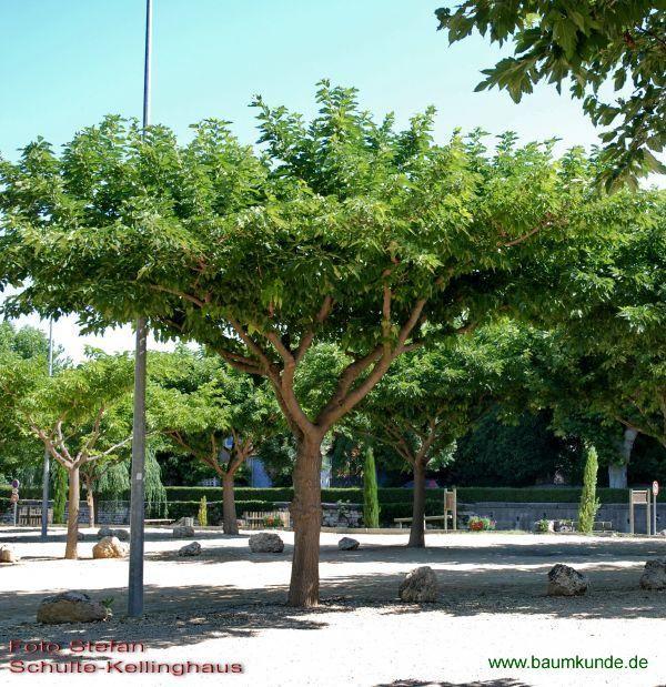 Platanenblättriger Maulbeerbaum / Morus alba 'Macrophylla' / Habitus Familie: Moraceae