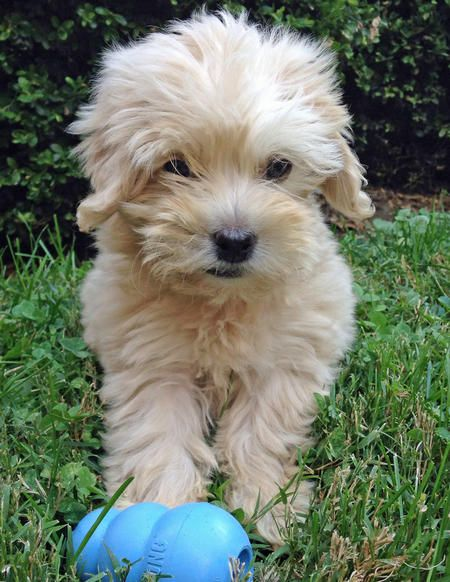 shih tzu and poodle mix best 25 poodle mix puppies ideas on pinterest poodle 4661