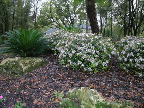 Indian Hawthorne Shrub In Bloom White Blossoms Plants