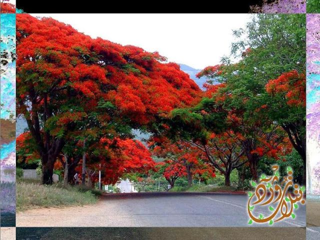 Pin By Qahtanadnaeef On اشجار مزهرة Delonix Regia Plants Country Roads