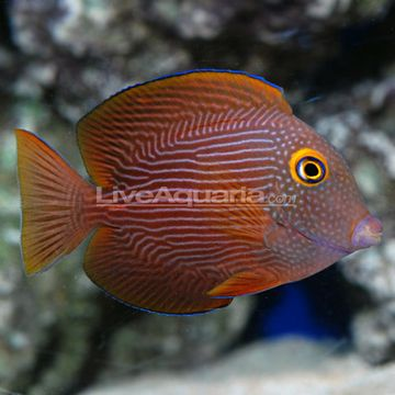 Kole Yellow Eye Tang. Peaceful, reef safe. 70+ gallons. Maxes at 7in.