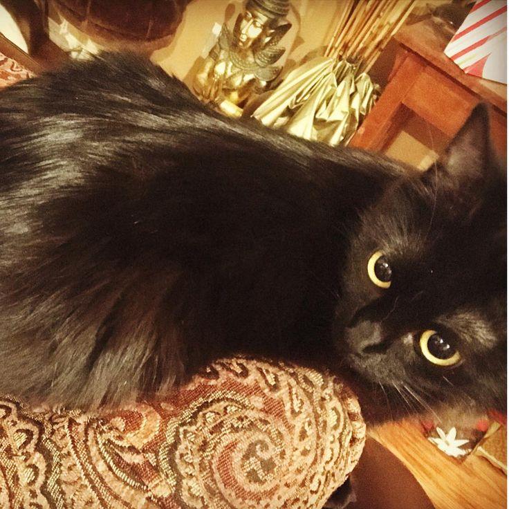 My black panther.... #malee #thai #jasmine #blackcats #blackcatsofinstagram #blackcat #goldeneyes #kitty #love http://misstagram.com/ipost/1548449029624847273/?code=BV9MjA7llup