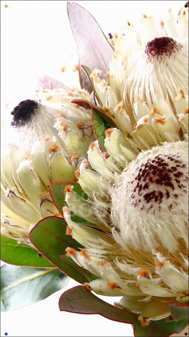 Protea Snow Queen in 2020 Protea flower, Protea art